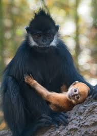Baby Second Hand Store Los Angeles Endangered Baby Leaf Monkeys Born At La Zoo Make Debut Thursday