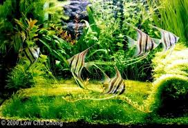 Pacific Aquascape 2000 Aga Aquascaping Contest 63