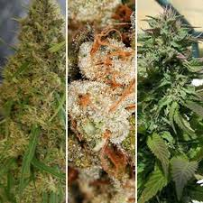 fruit basket fruit basket feminized combo pack marijuana seeds