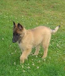 belgian sheepdog puppy belgian shepherd dog tervuren dog breeds expert