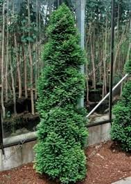 59 best evergreens for tight spaces images on garden