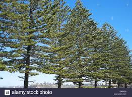 norfolk island pine trees araucaria heterophylla on the coast