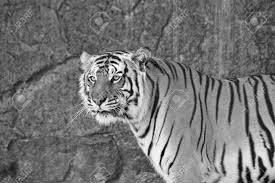 up siberian tiger in a zoo in black and white stock photo