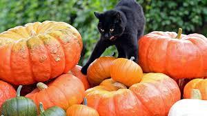 halloween cat wallpaper cats checking animals out pumpkins halloween cat vector image hd