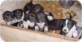 boxer dog utah pups adopted puppy elsinore ut boxer german shorthaired