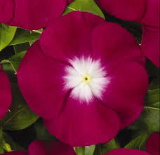 vinca flowers annual vinca umass amherst greenhouse crops and floriculture program