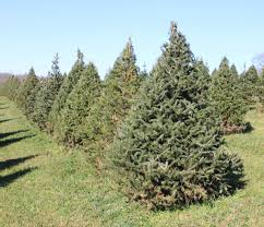 best 28 canaan fir christmas tree canaan fir christmas trees