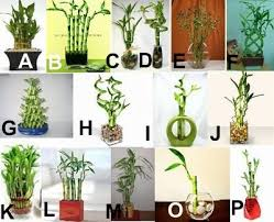 43 best lucky bamboo images on lucky bamboo bamboo