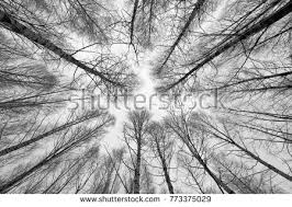 black white trees silhouettes 写真素材 95654269
