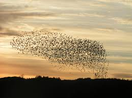 sensational starling murmuration far out flocking phenomenon 37