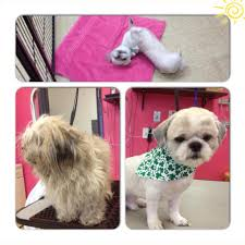 shih tzu summer cut yelp