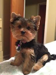 haircuts for yorkies 25 ide terbaik yorkie haircuts di pinterest