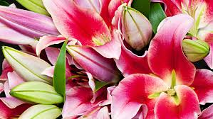 lilies flower send lilies in london and uk flower station