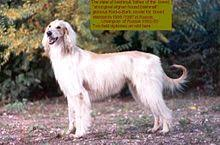afghan hound giving birth bakhmull wikipedia