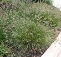 ornamental grasses winter care and fertilizing hawks landscape