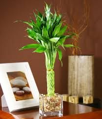 5 reasons why lucky bamboo makes a great gift this s day