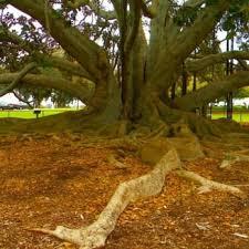 moreton bay fig tree 28 photos 11 reviews landmarks