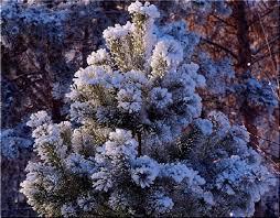 winter prettiest snow spruce forest trees tree winter