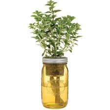 Self Watering Garden Jar Greek Oregano U2013 Modernsprout