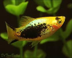 Buy Ornamental Fish Aquarium Platy Fish For Sale At Aquarium Fish Net Platys