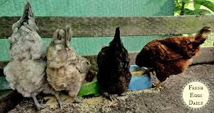 chickens in backyard vent gleet in backyard chickens fresh eggs daily