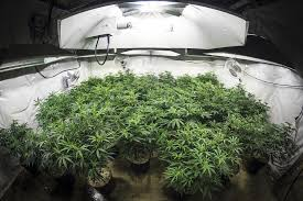 cheap grow lights for weed which growing lights are better for indoor weed plants allbud