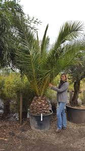 palm sunday palms for sale canariensis canary island date palm agm family arecaceae