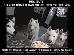 Siberian Husky Meme - fivesibes it s a fivesibes merry meme monday