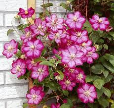 Climbing Plants For North Facing Walls - climbing plants on the garden walls www coolgarden me