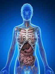 Human Anatomy Upper Body Female Anatomy Upper Body Stock Photo 470858865 Istock