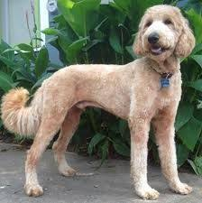 labradoodle hairstyles the 25 best shaved goldendoodle ideas on pinterest poodle teddy