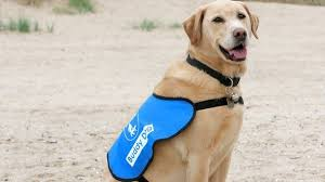 How Do Blind Dogs Know Where To Go Assistance Dogs How To Spot Them Bbc News