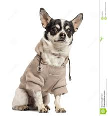 sitting chihuahua wearing a sweater 18 months stock image