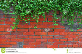 ivy on the old brick wall stock photo image 38784707