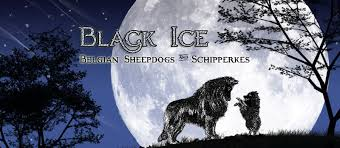 belgian sheepdog laekenois belgian sheepdogs black ice belgian sheepdogs and schipperkes