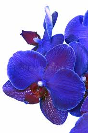 Blue Orchid Flower Blue Orchid Flower Royalty Free Stock Photography Image 1973297