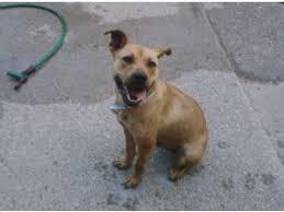 american pitbull terrier kennels in michigan american pit bull terrier puppies in michigan