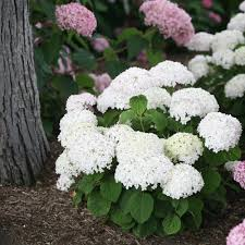 hydrangea white invincibelle wee white smooth hydrangea hydrangea arborescens