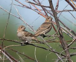attracting house finches backyard birding feeding wild bird co