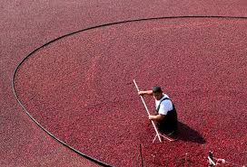 native indian plants cranberries a thanksgiving staple were a native american superfood