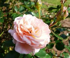 roses department store black friday ad drift roses are low maintenance disease resistant and produce an