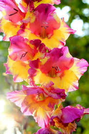 best 25 gladiolus flower ideas on pinterest gladiolus gladioli