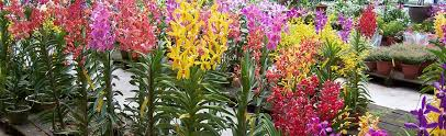 orchid plants for sale orchids asia flowers plants vanilla collections