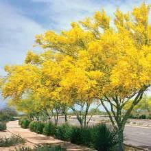 flowering trees for the low desert home garden