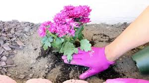 flower plants how to plant flowers spring garden 2015 youtube
