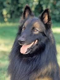 belgian sheepdog training guide belgian tervuren breed information