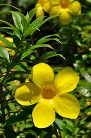 yellow bell allamanda needs a trellis or fence for support but