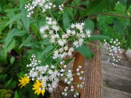 native plants illinois not white snakeroot but late boneset wildflower wednesday