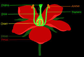 Reproduction In Flowering Plants - reproduction in angiosperms