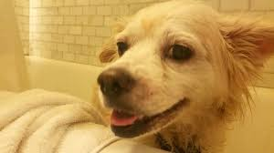 Dogs In The Bathtub For Easier Dog Baths Just Shower With Your Pet
